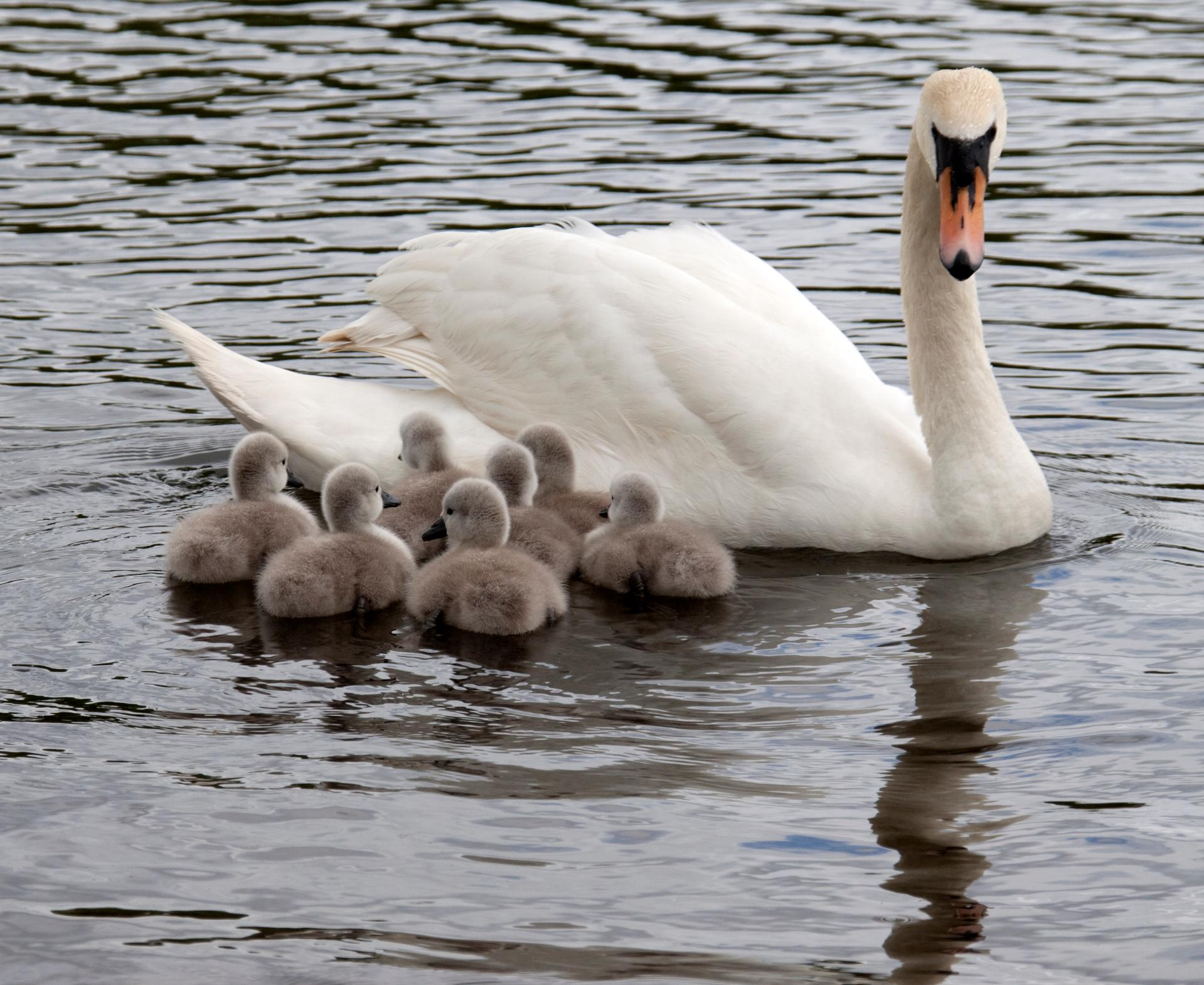Cygnus_olor_-adult_with_7_cygnets_-England-8